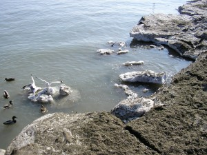 Birds use the melting icebergs near the shore as landing pads.